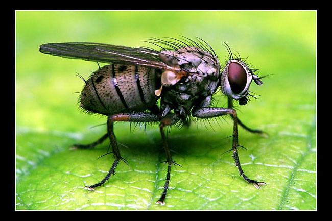 Grosse mouche noire