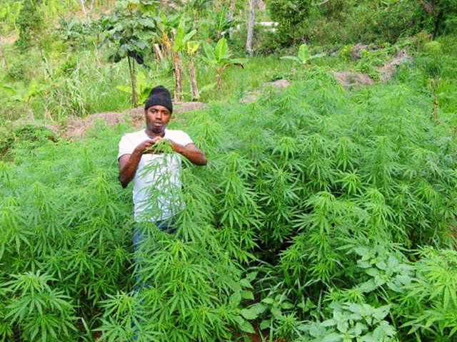 Culture de la marijuana en Jamaïque